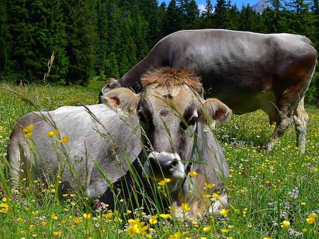 Kühe auf einer Wiese in Seefeld